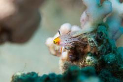 BD-150224-Ras-Mohammed-6650-Bodianus-anthioides-(Bennett.-1832)-[Lyretail-hogfish].jpg